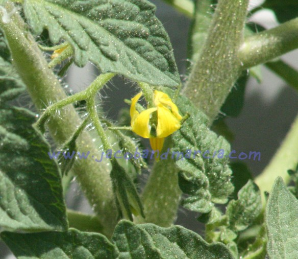 tomato-bloom